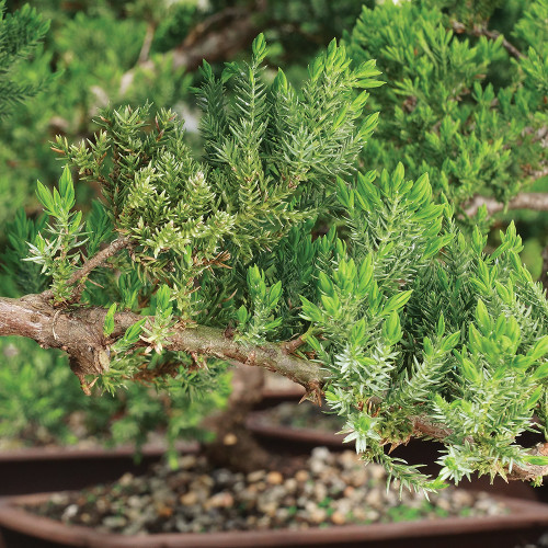 Large Size Green Mound Juniper Bonsai Tree Close Up