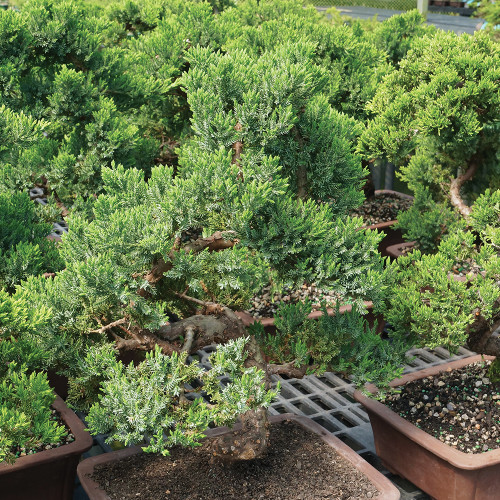 Large Size Green Mound Juniper Bonsai Tree Needles
