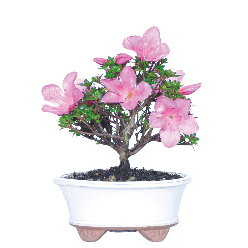 Medium Size Satsuki Azalea Kazan Bonsai Tree