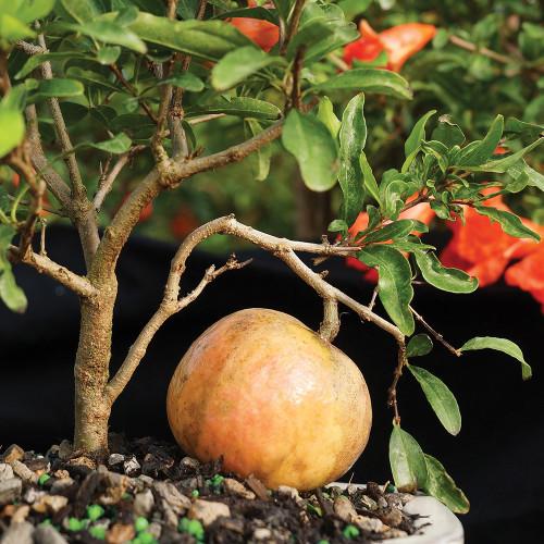 Pomegranate - DT0609PG