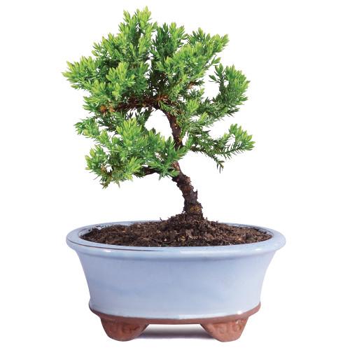 Small Green Mound Juniper Bonsai Tree