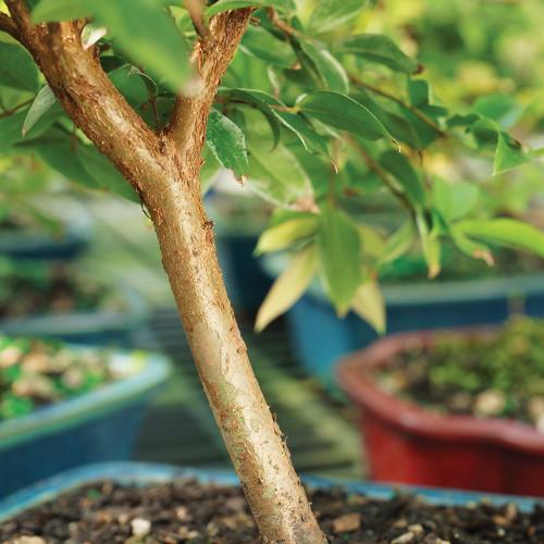 Small Size Jaboticaba Bonsai Tree Trunk View