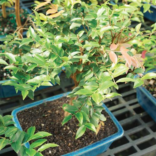 Small Size Jaboticaba Bonsai Tree Alternate View