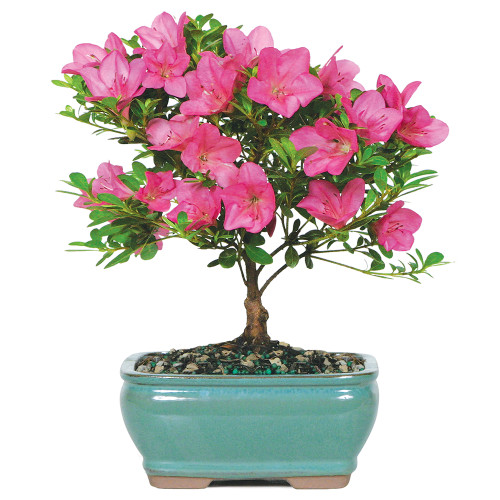 Small Size Satsuki Azalea Bonsai Tree