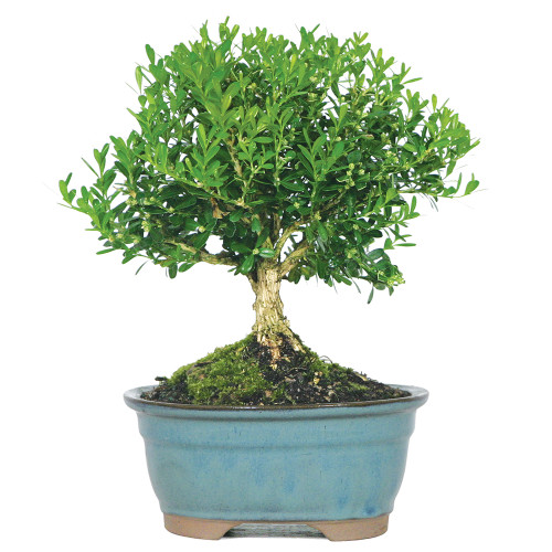 Harland Boxwood - DT5512HB