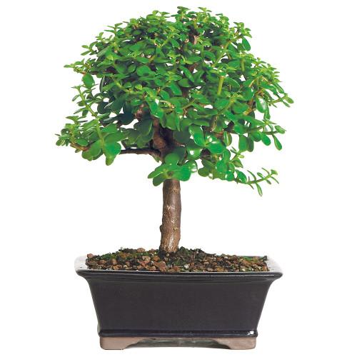 Medium Size Dwarf Jade Bonsai Tree