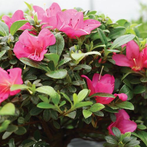 Large Size Satsuki Azalea Bonsai Tree Foliage Image