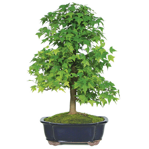 Trident Maple - DT6212TM