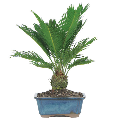 Sago Palm - DT8028SP