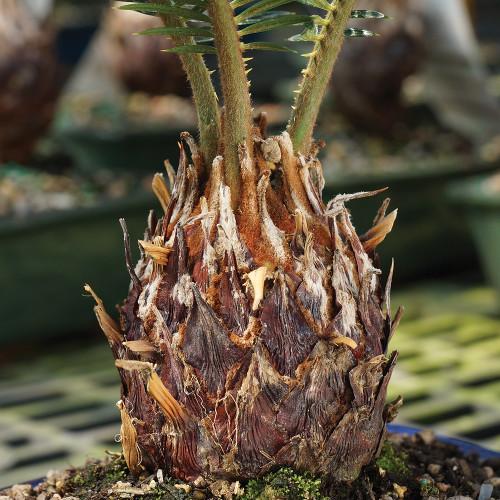Medium Size Sago Palm Bonsai Tree Trunk View