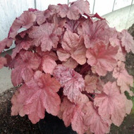 Heuchera 'Beaujolais' PP#19,577 - 18 Inches Tall