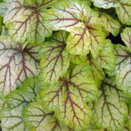 "Heuchera 'Circus' - 12""-16"" Tall"