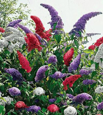 Fourth of July Butterfly Bush