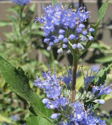 Dark Knight Caryopteris