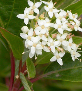 Bergeson's Compact Red Twig Dogwood