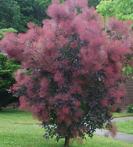 Royal Purple Smokebush