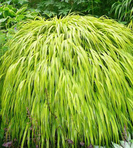 Golden Variegated Japanese Forest Grass