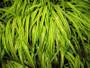 Golden Variegated Japanese Forest Grass