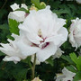Jeanne de Arc Double White Althea