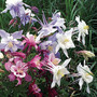 Songbird Mix Columbine