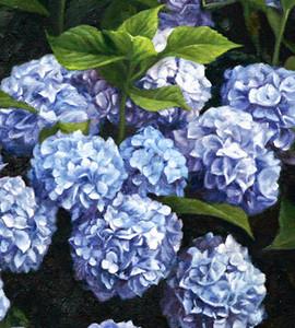 Nantucket Blue Hydrangea