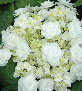 Wedding Gown Double White Hydrangea