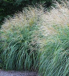 Adagio Dwarf Maiden Grass