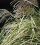 Variegated Japanese Silver Grass