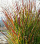 Shenandoah Red Switch Grass