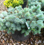 Waldbrunn Dwarf Blue Spruce