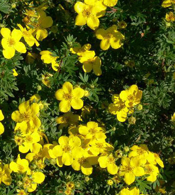 Goldfinger Yellow Potentilla