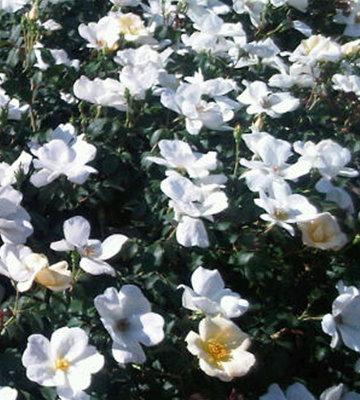 White Out Shrub Rose