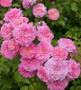 Sweet Drift Groundcover Rose
