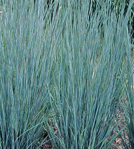 Prairie Blues Little Bluestem