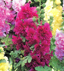 Hollyhock Spring Celebrities