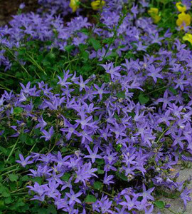 Blue Waterfall Bellflower