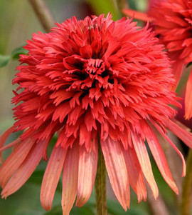 Hot Papaya Coneflower