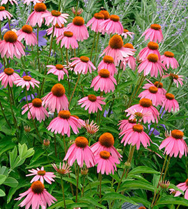 Magnus Purple Coneflower