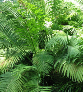 The King Jumbo Ostrich Fern
