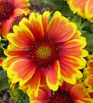 Arizona Sun Blanket Flower