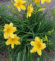 Bodacious Returns Daylily