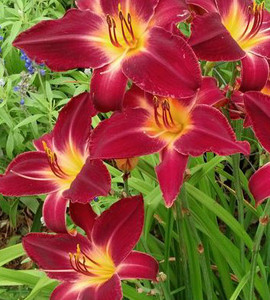Red Volunteer Daylily