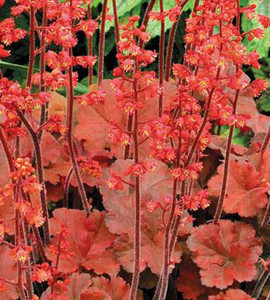 Cherry Cola Coral Bells
