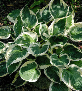 Patriot Hosta