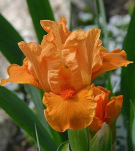 Fission Chips Dwarf German Iris