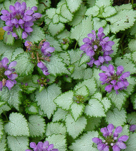 Purple Dragon Dead Nettle