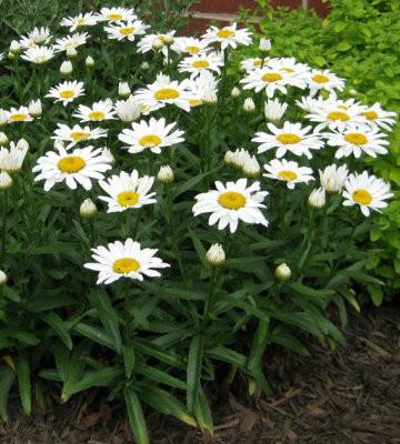 Snowcap Shasta Daisy