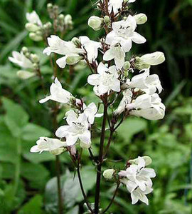 Husker Red Beardtongue