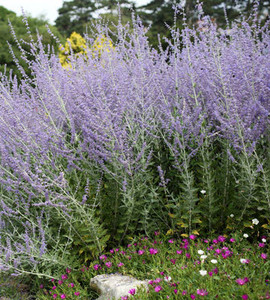 Denim and Lace Russian Sage