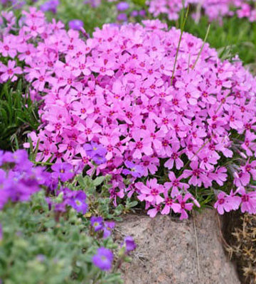 Emerald Pink Creeping Phlox